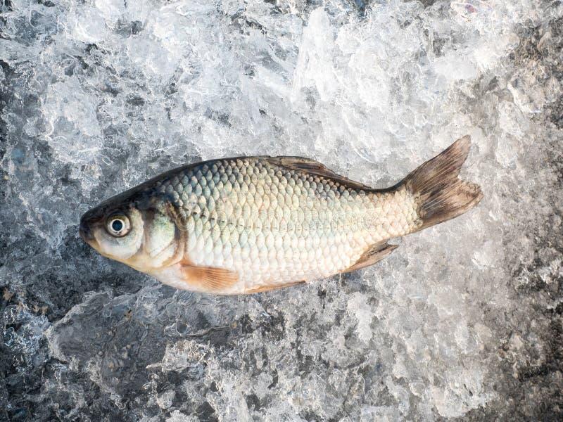 Rå fisk, når att ha fiskat på forcerad is lies för fiskeis bara blockerade vinterzander Precis trappe arkivfoto
