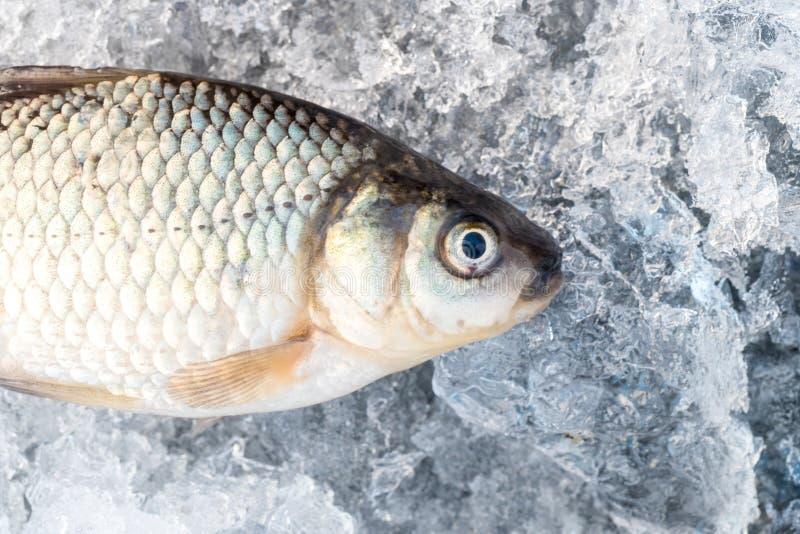 Rå fisk, når att ha fiskat på forcerad is lies för fiskeis bara blockerade vinterzander Precis trappe royaltyfri bild
