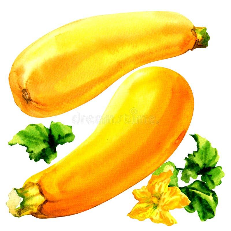 Rå gul zucchini med bladet och blomman, två nya grönsaker som isoleras, vattenfärgillustration på vit vektor illustrationer