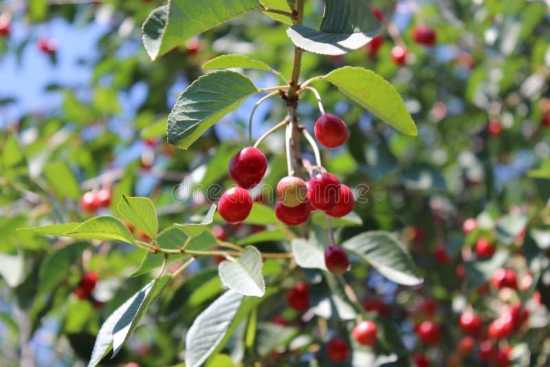 Rå körsbär på träd royaltyfria foton
