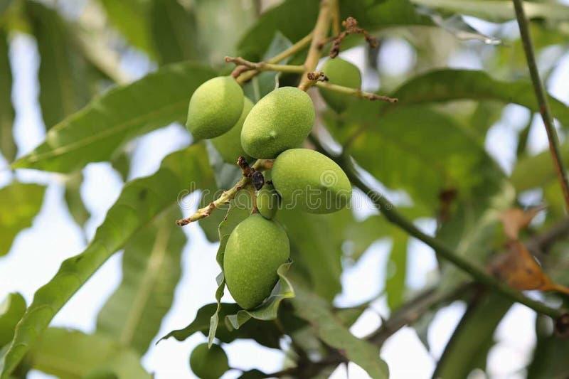 rå mango arkivbilder
