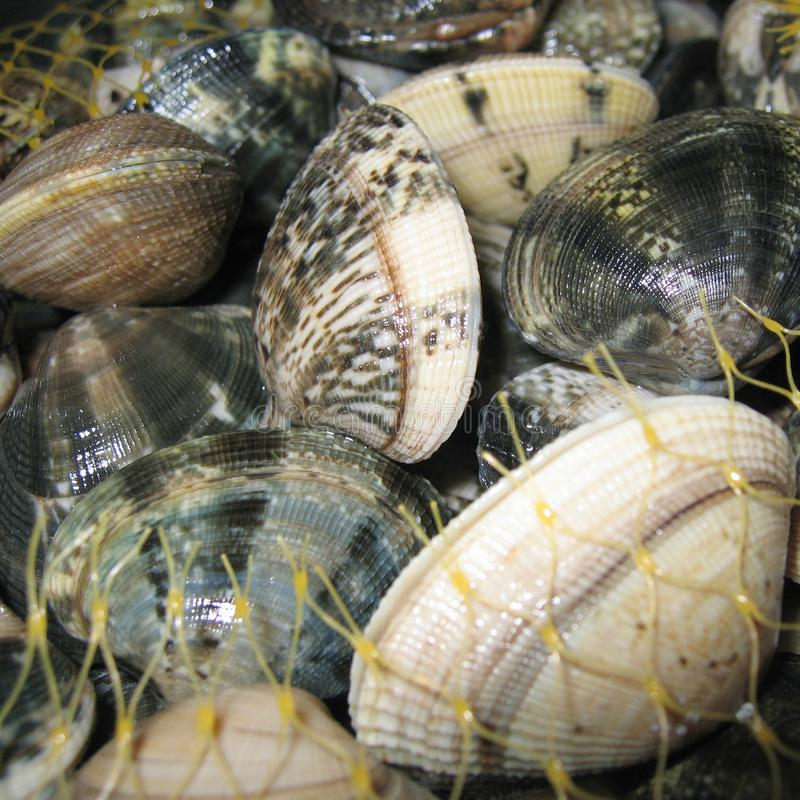 Rå musslacloseup arkivfoton