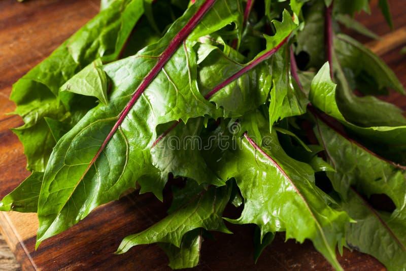 Rå organiska röda maskrosgräsplaner royaltyfria foton