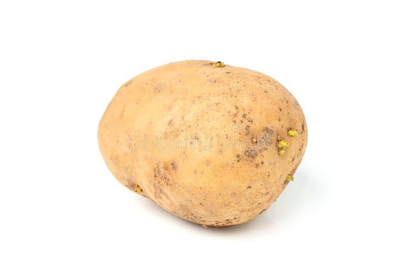 Rå potatisar isolerade closeupen royaltyfri bild