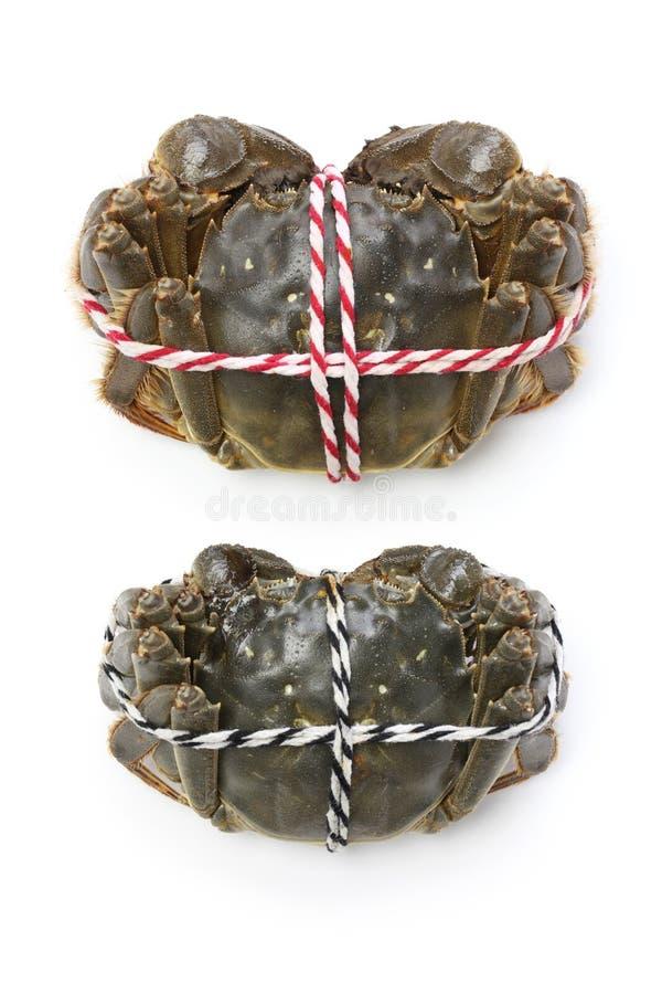 Rå shanghai håriga krabbor (mannen och kvinnlign) royaltyfri fotografi