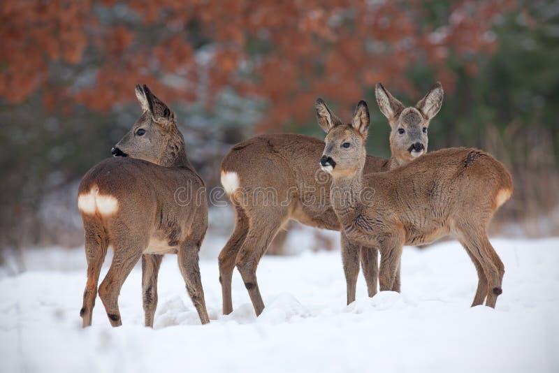 Rådjur capreoluscapreolus, flock i djup insnöad vinter fotografering för bildbyråer