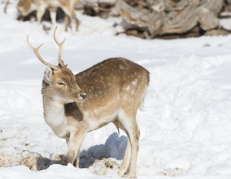 Rådjur som betar i en vinterskog royaltyfri foto