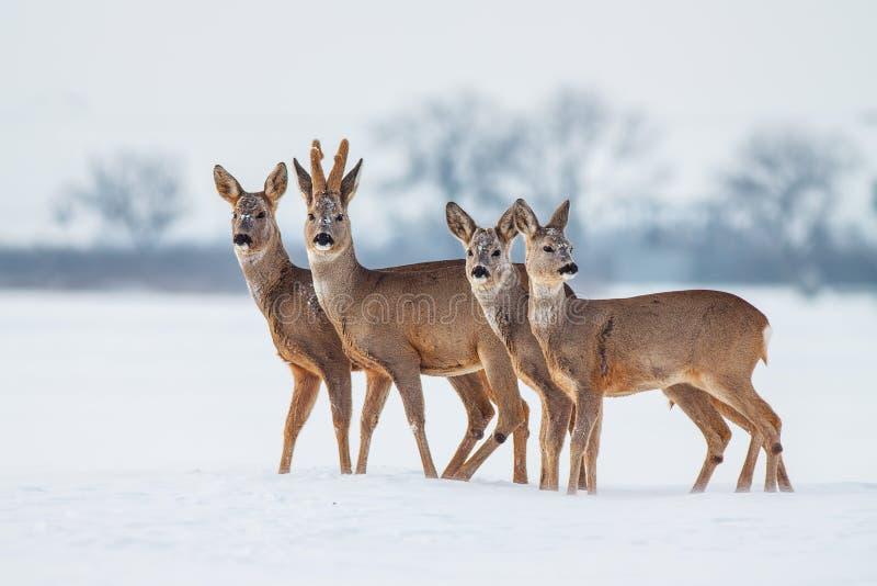 Rådjurfamilj i vinter Rådjur med snöig bakgrund Löst djur med snöig träd på bakgrund royaltyfri foto
