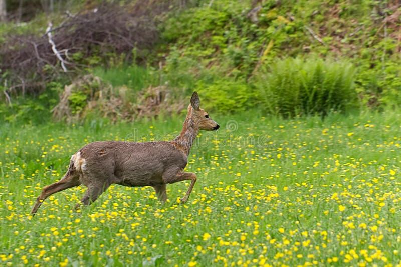 Rådjurskött som omkring går i gräset och äta royaltyfria foton
