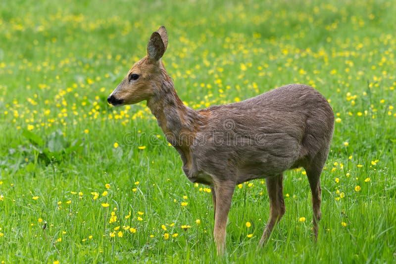 Rådjurskött som omkring går i gräset och äta arkivfoton