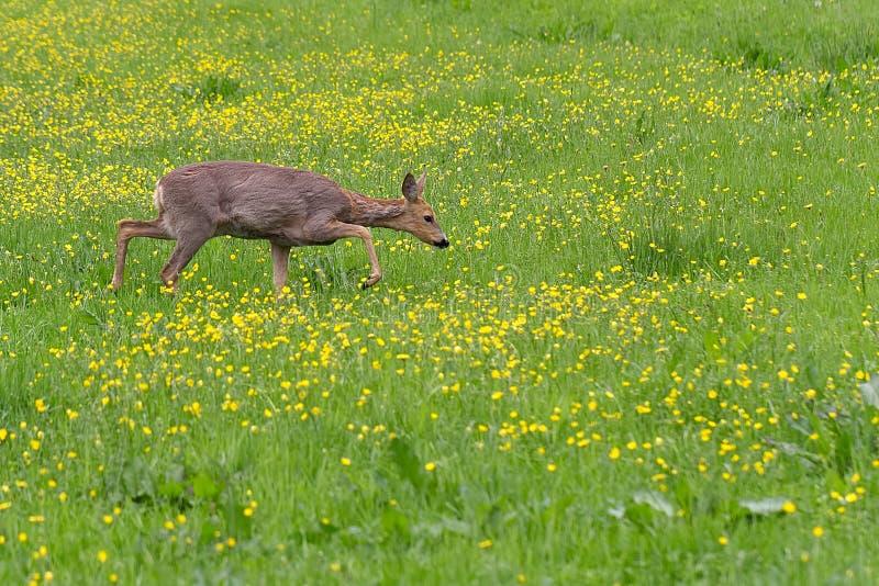 Rådjurskött som omkring går i gräset och äta royaltyfri foto
