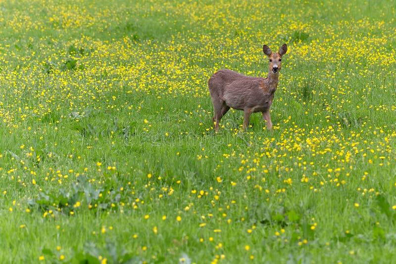 Rådjurskött som omkring går i gräset och eatinen royaltyfria bilder