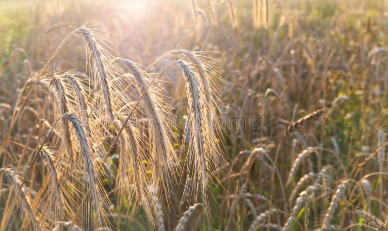 Råg- och vetefält på solnedgången royaltyfria foton