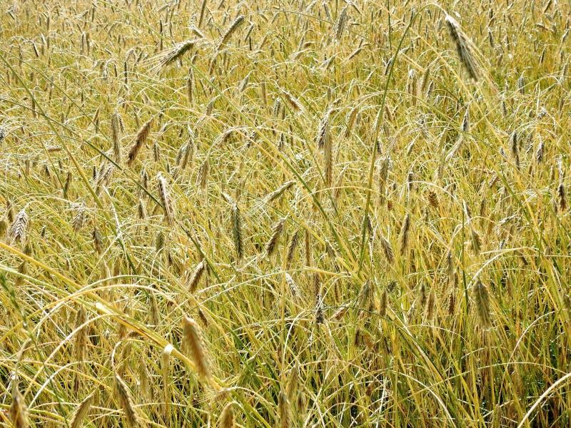 Rågfält i sommar, Litauen royaltyfri foto