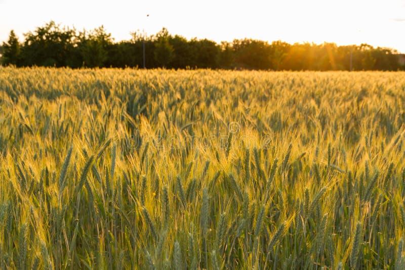 Rågfält på solnedgången arkivbilder