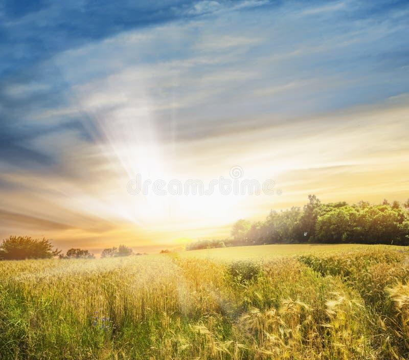 Rågfält på solnedgången, landskap arkivbild
