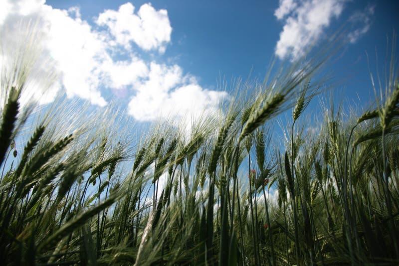 Rågfältet sköt underifrån Spikelets av råg mot den blåa vårhimlen med vita frodiga moln royaltyfri fotografi