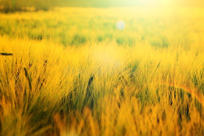 Rågskördfält i solnedgång Kornfält i solnedgång En sommarsolnedgång över gräsfält royaltyfri fotografi