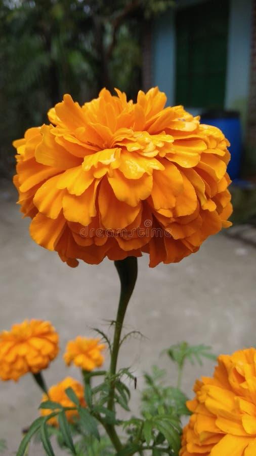 Råna blomman royaltyfria foton