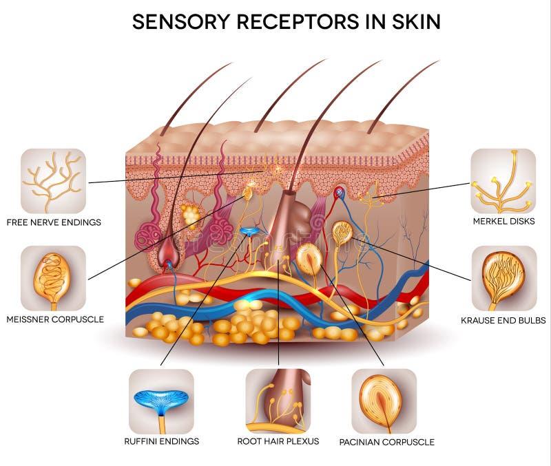 Récepteurs sensoriels dans la peau illustration libre de droits