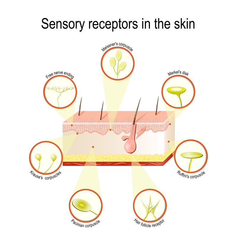 Récepteurs sensoriels dans la peau illustration de vecteur