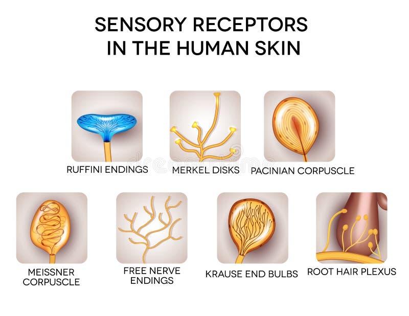 Récepteurs sensoriels dans la peau humaine illustration stock