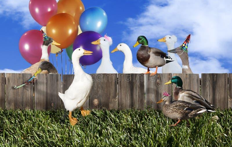 Réception de canard images libres de droits