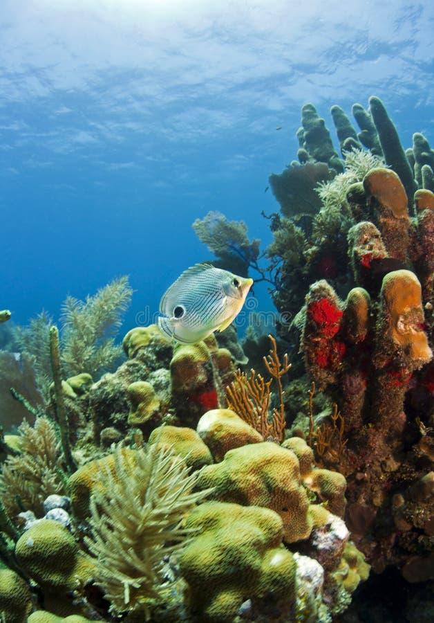 Récif coralien des Caraïbes images libres de droits