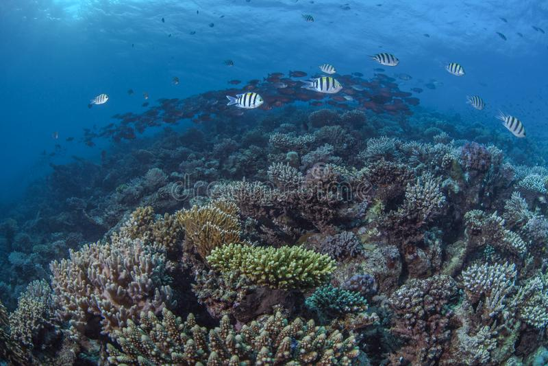 Récif coralien en Mer Rouge du nord photo stock