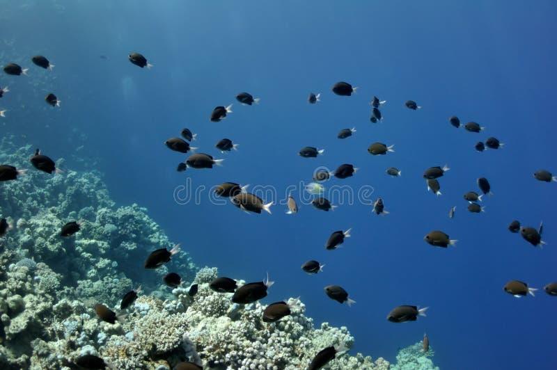 Récif coralien et poissons à la Mer Rouge photo stock