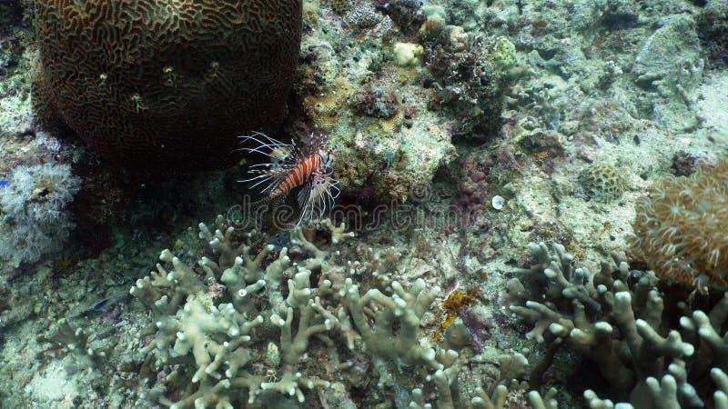 Récif coralien et poissons tropicaux, lionfish philippines images libres de droits