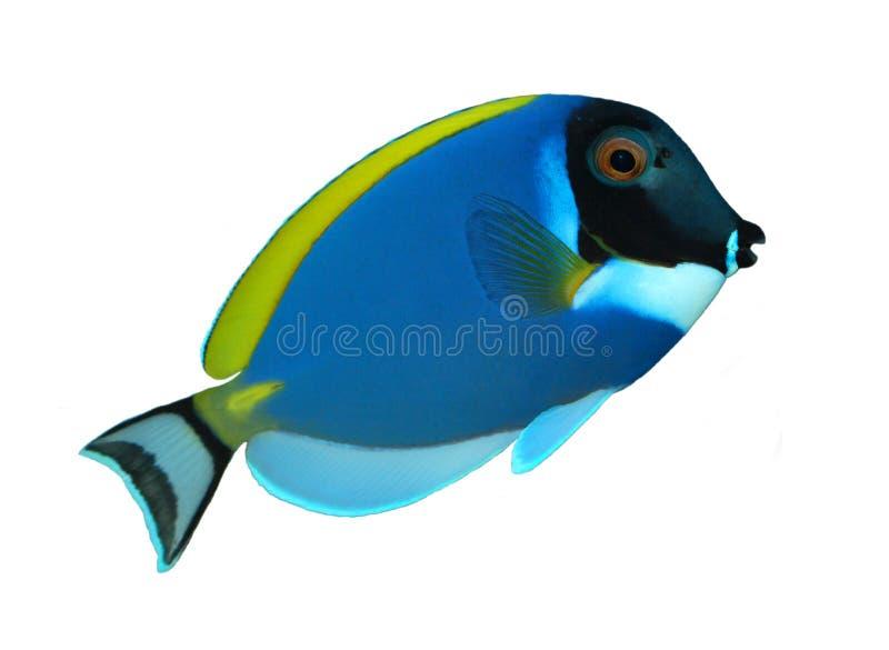 récif d'isolement par poissons tropical photos libres de droits