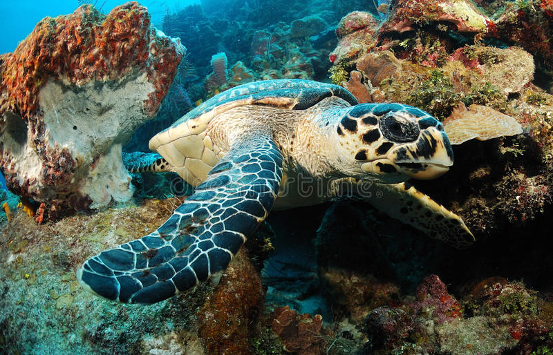 Récif de tortue de mer de Hawksbill photographie stock libre de droits