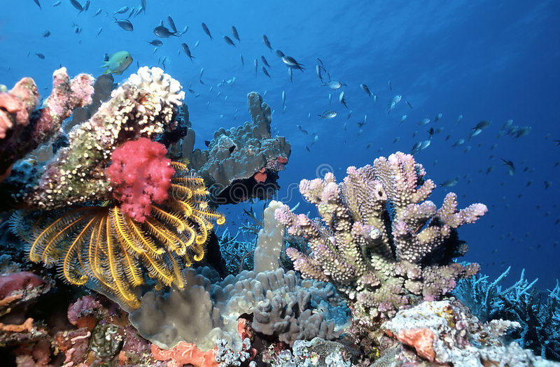 Récif peu profond des Maldives photo stock