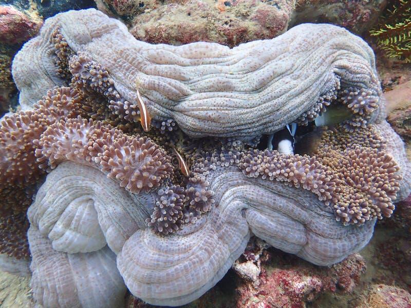 Récifs coraliens sains dans Sabah, Bornéo photographie stock libre de droits
