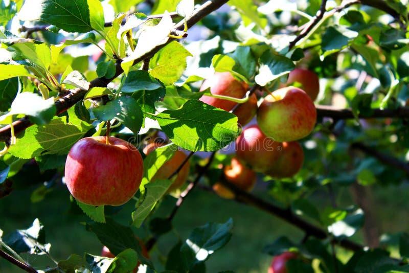 Récolte d'automne des pommes images stock