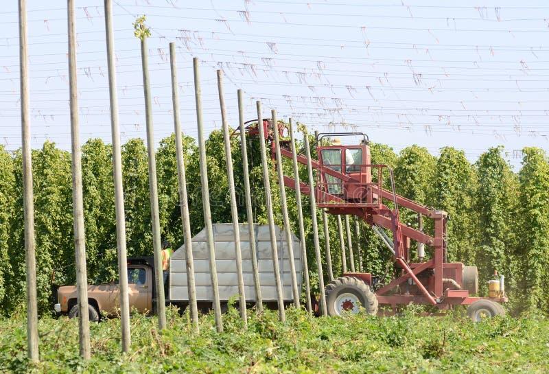 Récolte d'houblon photo libre de droits