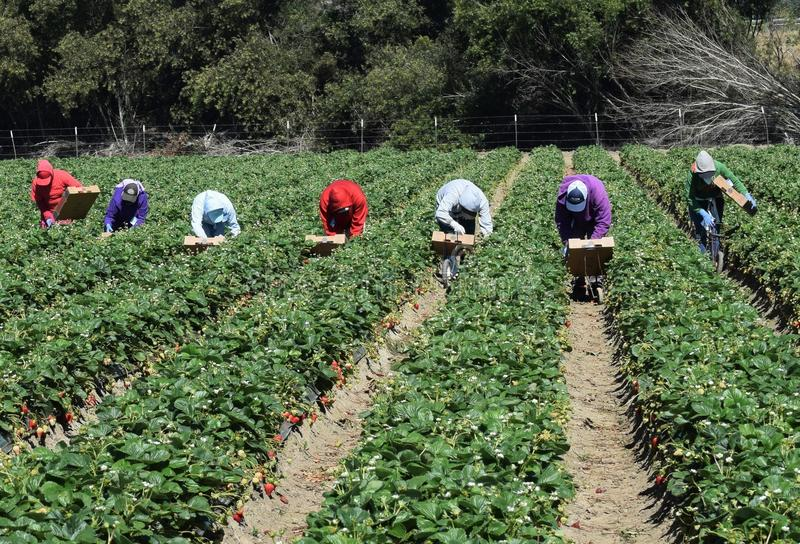Récolte de fraise en Californie centrale photo libre de droits