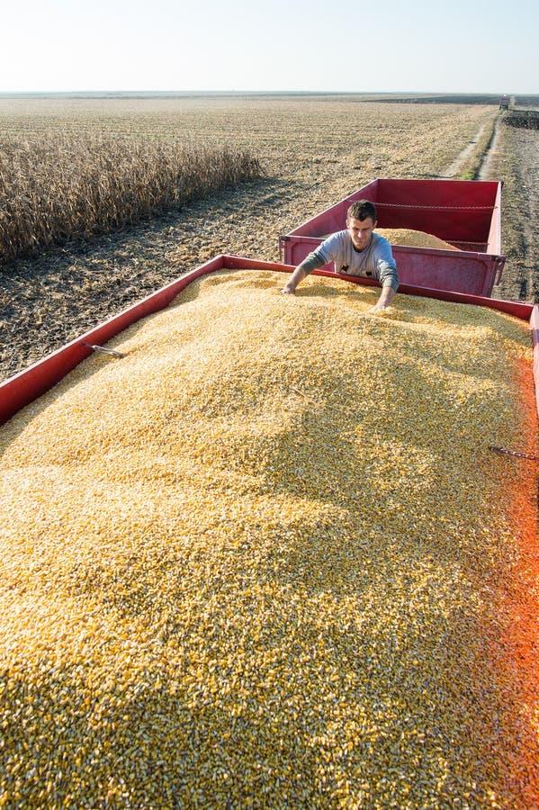 Récolte de maïs image stock