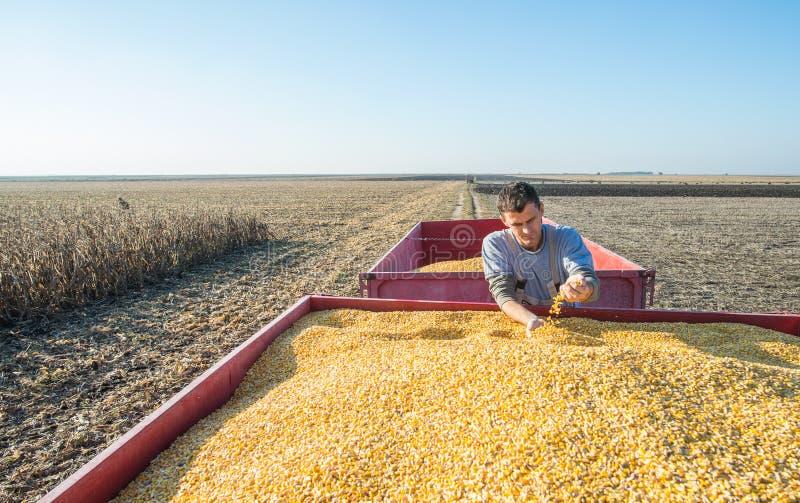 Récolte de maïs photos libres de droits