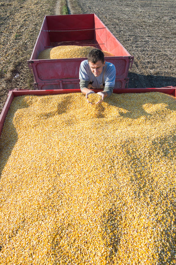 Récolte de maïs image libre de droits