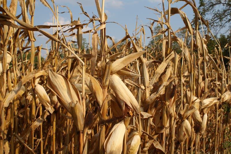 Récolte de maïs photo libre de droits