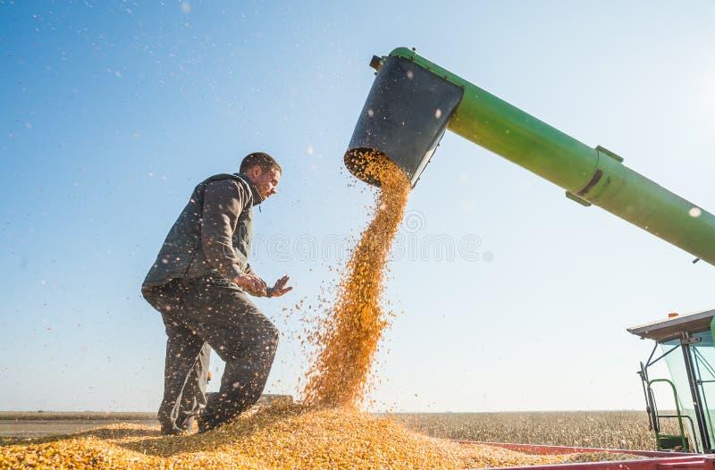 Récolte de maïs photo stock