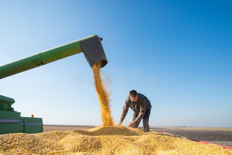 Récolte de maïs photos stock
