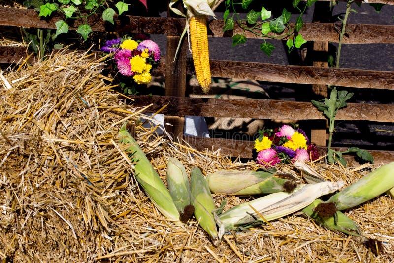 Récolte de maïs d'automne photographie stock