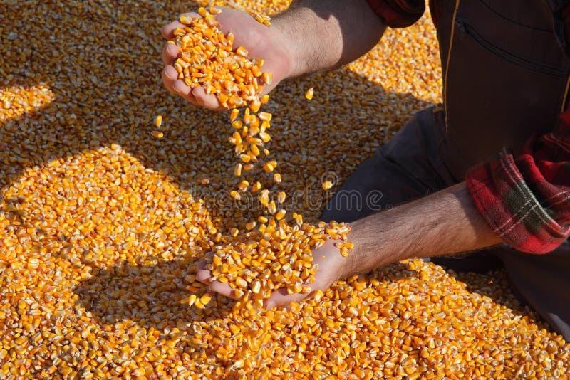 Récolte de maïs, graine se tenante et de versement d'agriculteur, plan rapproché des mains avec la graine image stock