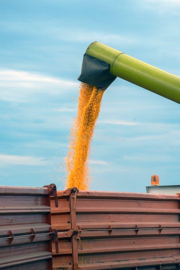 Récolte de maïs de maïs, moissonneuse de cartel déchargeant des grains image libre de droits