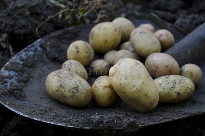Récolte de pomme de terre images libres de droits