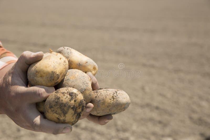 Récolte de pommes de terre, tir sur le terrain, image libre de droits