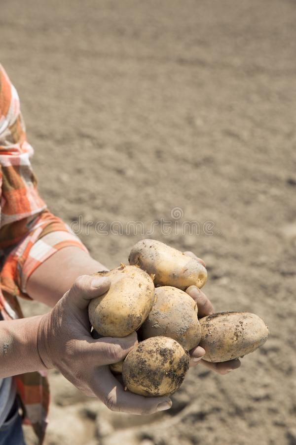 Récolte de pommes de terre, tir sur le terrain, photos libres de droits